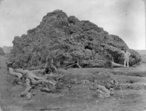 Coral block thrown onto the shore of Java after the Krakatau eruption of 1883. Picture taken in 1885.