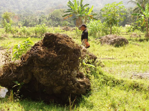 Large coral block transported by the Krakatoa explosion (Photo by S. Leroy)